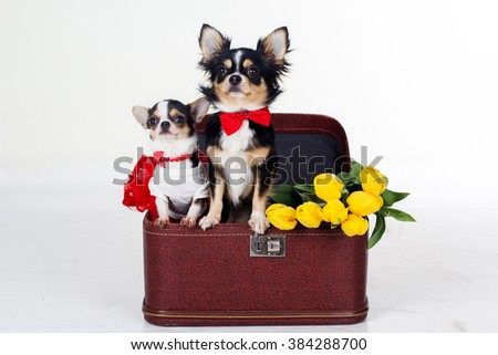 Couple of chihuahua dogs with yellow flowers and red heart - stock photo