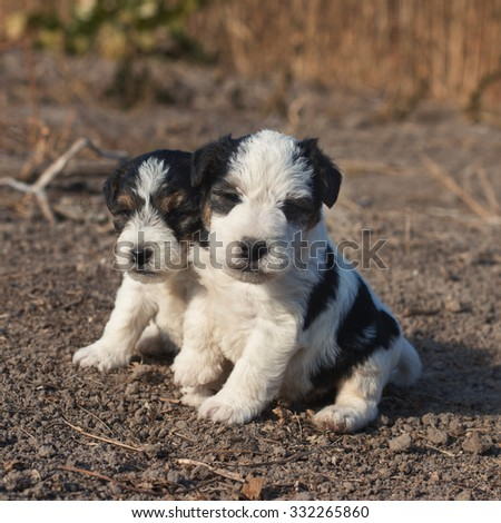 Couple of cute fox terrier puppies. - stock photo