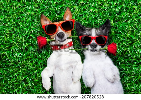 couple of dogs in love very close together lying on grass in the park with a red rose on each mouth - stock photo