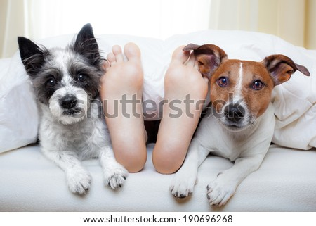 couple of dogs under white bed sheets with sleeping owner - stock photo