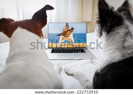 couple of dogs watching a movie  on a laptop computer in bedroom, close together - stock photo