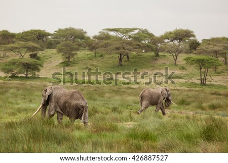 Couple of elephants in the african savanna