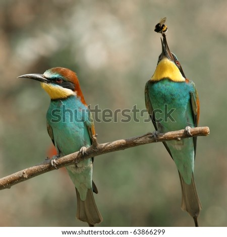 couple of european bee-eater alighted on a twig, the right with insect in bill - stock photo