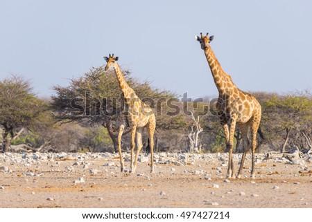 Thirsty Giraffes, Etosha National Park, Namibia  № 1442796 загрузить