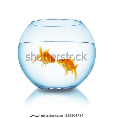 couple of goldfishes gives a kiss in a fishbowl  - stock photo