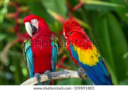 Couple of Green-Winged and Scarlet macaws in nature surrounding, Bali, Indonesia