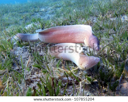 Couple of grey (pepper) moray (Gymnothoray griseus) swimming together - stock photo