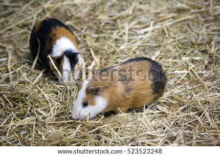 Couple of Guinea pigs Kind of domesticated rodents of the genus of pigs.