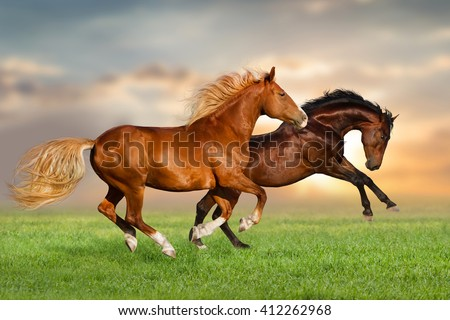 Couple of horse run gallop on green pasture at sunset sky - stock photo