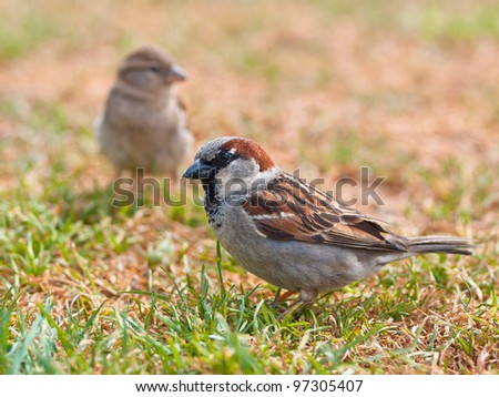 Couple of house sparrow (Passer domesticus) in a field of grass during a sunny summer day