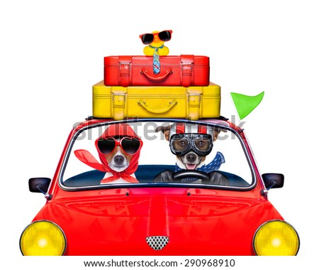 couple of jack russell just married dogs driving a car for summer vacation holidays or honeymoon , isolated on white background, stack of luggage or bags on top - stock photo