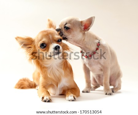couple of kissing  chihuahua puppies on neutral background  - stock photo