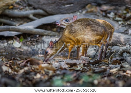 Couple of Lesser Mouse Deer (Tragulus javanicus) drinking water in nature at Kaengkrajarn national park,Thailand - stock photo