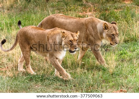 Couple of lionesses  at the Naankuse Wildlife Sanctuary, Namibia, Africa