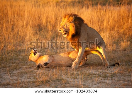 couple of lions - stock photo