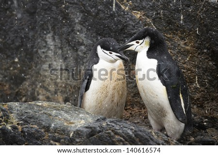 Couple of little dirty chinstrap penguins - stock photo