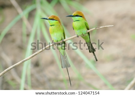 Couple of Little Green Bee-eater (Merops orientalis) sit on the little stick, Thailand. - stock photo