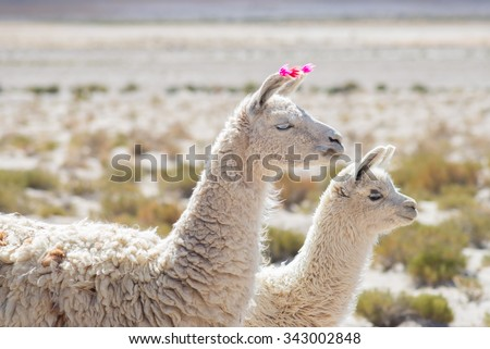 Couple of llamas on the Andean highland in Bolivia. Adult with baby animal. Side telephoto view. - stock photo