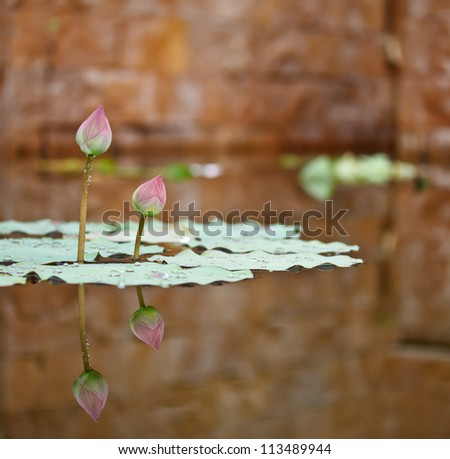 couple of lotus in a pond of a tropical garden - stock photo