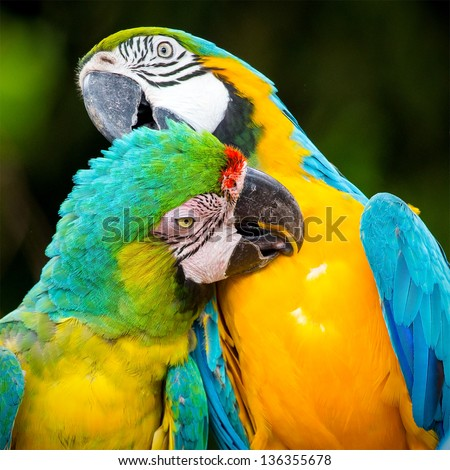couple of macaw parrots in nature