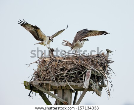 Couple of male and female ospreys with open wings building their twig nest on a nest platform in Jamaica Bay, New York.