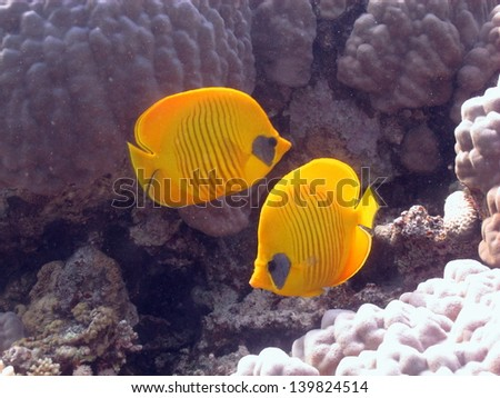 Couple of Masked butterflyfishes (Chaetodon semilarvatus) in front of the reef - stock photo