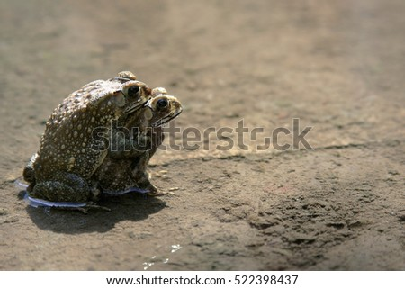 Couple Of mating Toads  in nature water