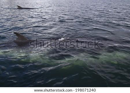 couple of minke whales swimming along the Antarctic Peninsula - stock photo