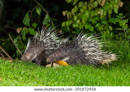 Couple of nocturnal animals Malayan porcupine(Hystrix brachyura) come out from the dark to find some food in nature at Kaengkrajarn national park,Thailand - stock photo