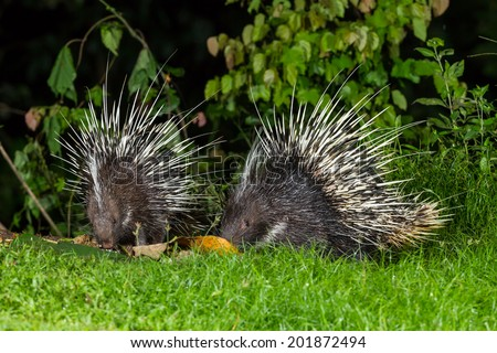 Couple of nocturnal animals Malayan porcupine(Hystrix brachyura)  find some food in nature at Kaengkrajarn national park,Thailand - stock photo