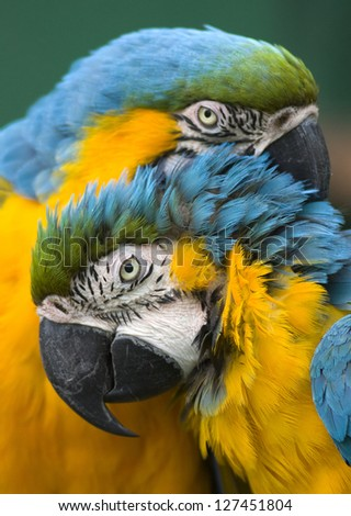 couple of parrots together touching - stock photo