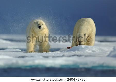 Couple of polar bear on drift ice with snow on Arctic Svalbard - stock photo