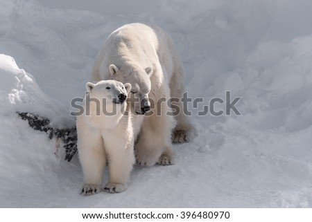 couple of polar bears mating