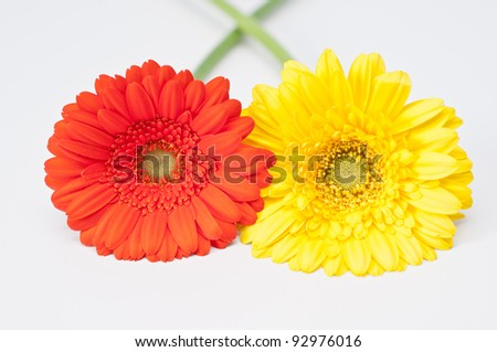 Couple of red and yellow gerbera flowers on white - stock photo