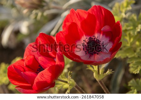 Couple of Red anemone Flowers in the garden, closeup - stock photo