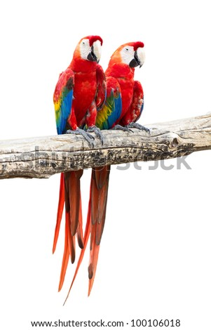 Couple of red macaw parrots on white background - stock photo