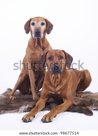 couple of Rhodesian Ridgeback dogs, male 4 years and female 8 years old, isolated on white background - stock photo