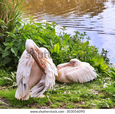 Couple of Rosy Pelicans near pond in the grass. - stock photo