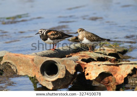 Couple of sandpipers sits on metal fragments on an ocean coast in a sunny weather