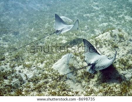 couple of Spotted Eagle Ray (Aetobatus narinari) - stock photo