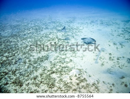 couple of spotted eagle rays (aetobatis narinari) looking for food in the seagrass. - stock photo