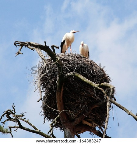 Couple of storks in the nest
