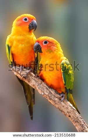 Couple of Sun Conure Parrot perching on a branch - stock photo