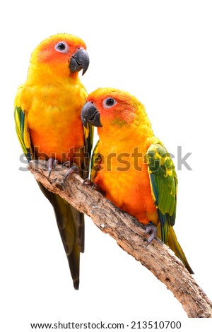 Couple of Sun Conure Parrot perching on a branch, white background - stock photo