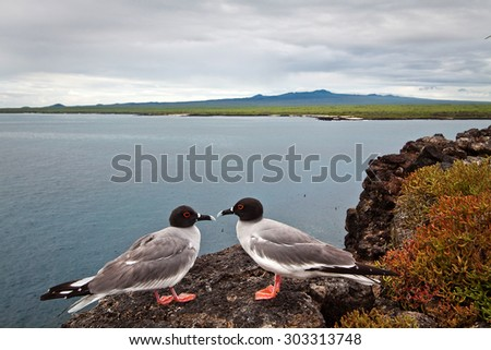 Couple of swallow tailed gull with the ocean in the background, Galapagos Islands, Ecuador - stock photo