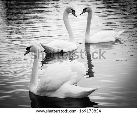 Couple of swans in love and the rejected lover. Selective focus on the couple. Black and white. Shadowed angles. - stock photo