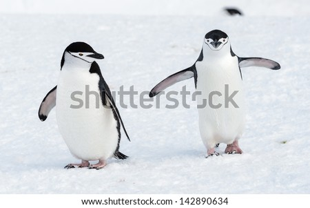 Couple of the chinstrap penguins - stock photo
