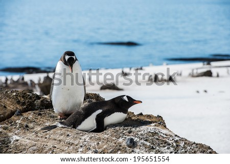 Couple of the cute Gentoo Penguins (Pygoscelis papua) in a nest on the Antarctic coast - stock photo