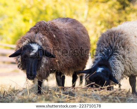 Couple of the sheep are chewing hay. Grazing sheep in the farmland. - stock photo