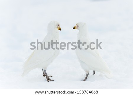 Couple of the Snowy Sheathbills (Chionis albus) on the snow - stock photo